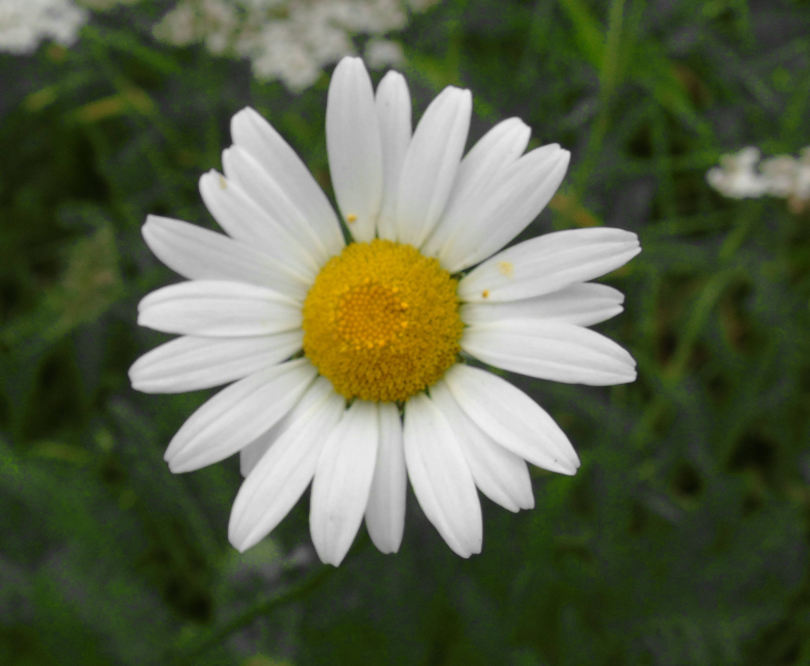 Chamomile_ Wild_(Scented Mayweed)Diego_leave _one_color.jpg